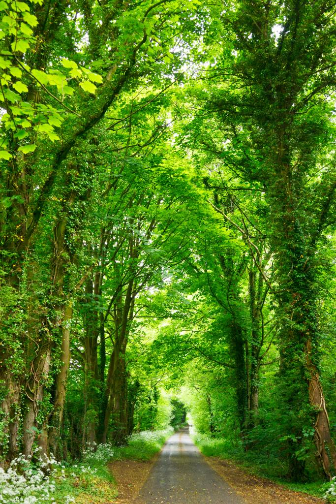 Walking path, scattered with leaves, passing underneath a tall canopy of green leafy trees