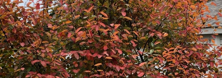 brilliant orange Fall color on serviceberry shrub