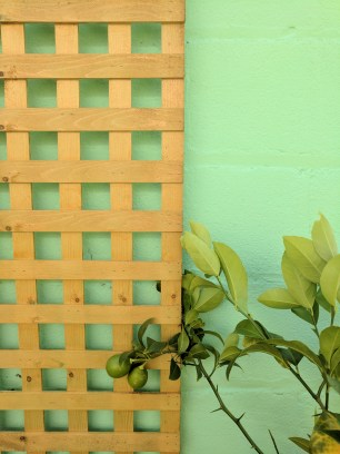 Lattice up and lemon tree planted in a pot nearby.