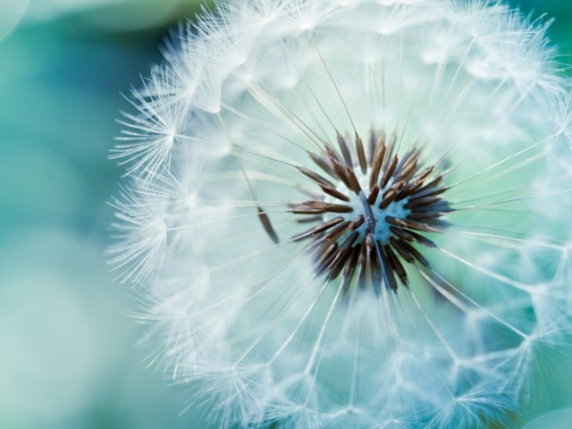 Blue Dandelions #5