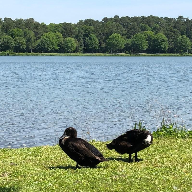 Lake Mayer Savannah ducks