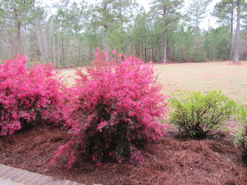 fringe flower bush