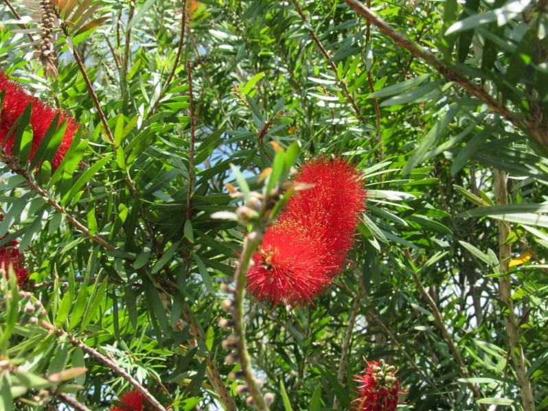 Bottlebrush shrub