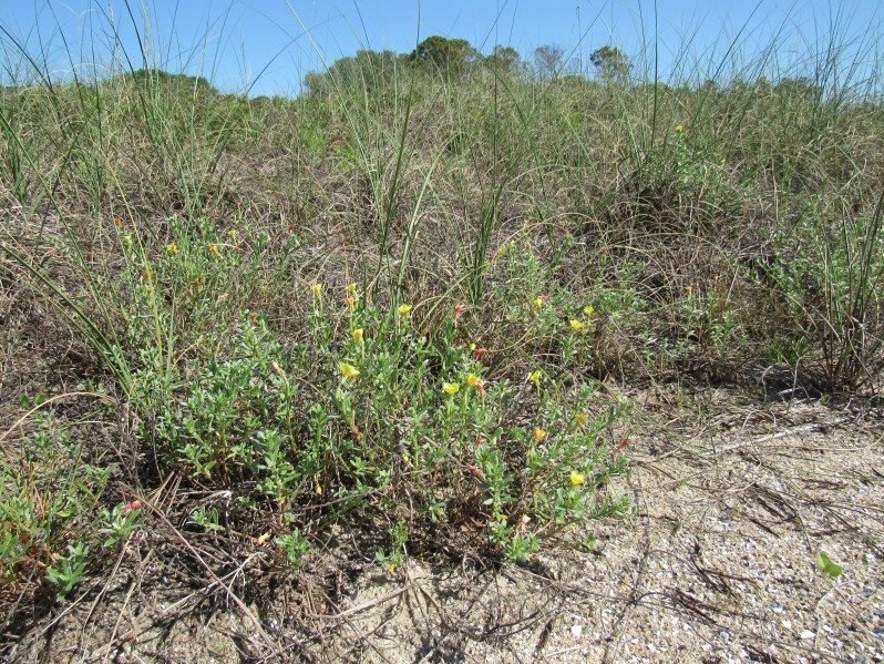 Wildflowers on the sand dunes