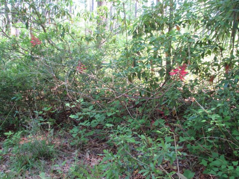 Coral bean plant