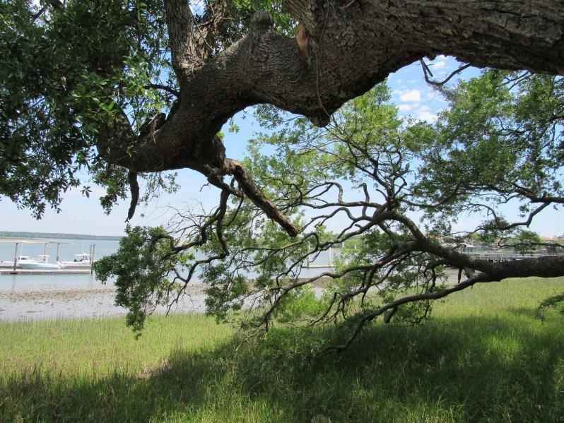 Low leaning oak tree