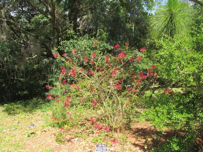 Coral bean bush