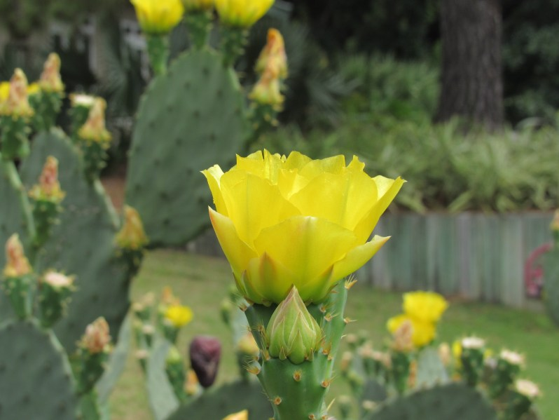 Yellow flowering cactus