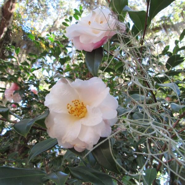 White and lavender camellia