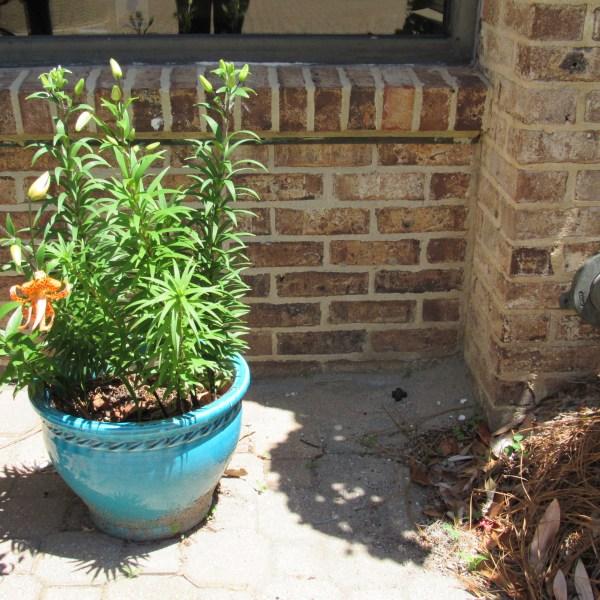 Tiger lily planter