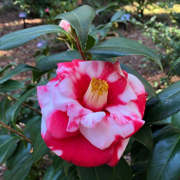 Marbled camellia
