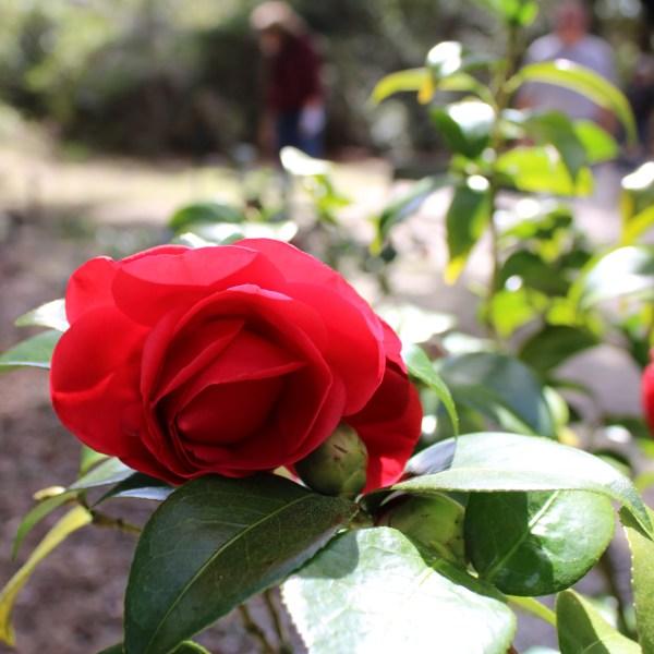 Deep red camellia