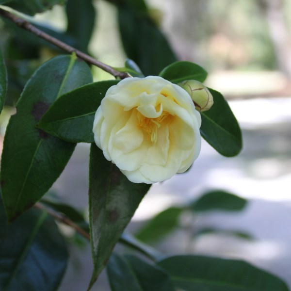 Light yellow camellia