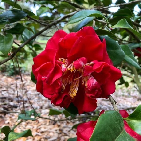 Crimson red camellia