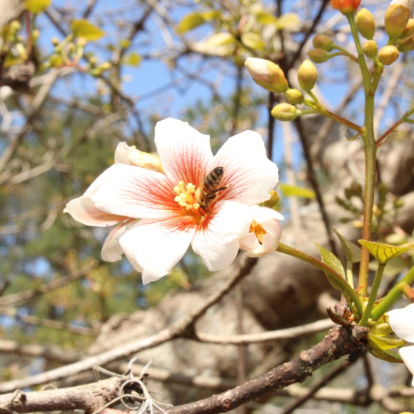 Tung oil tree flower