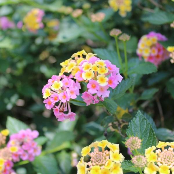 Pink and yellow lantana