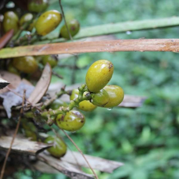Fan palm seed