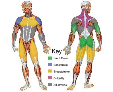 Source http://swimtoslim.com/wp-content/uploads/2010/11/muscle-groups1.jpg