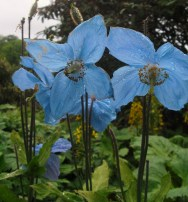 edinburgh-scotland-royal-botanic-garden blue flowers