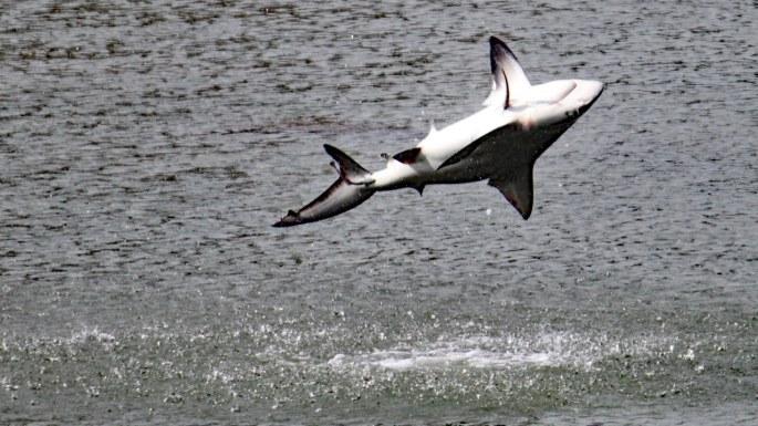 spinning shark