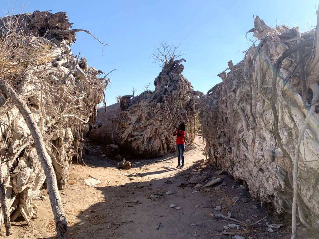 chapman's baobab-the largest tree in Africa
