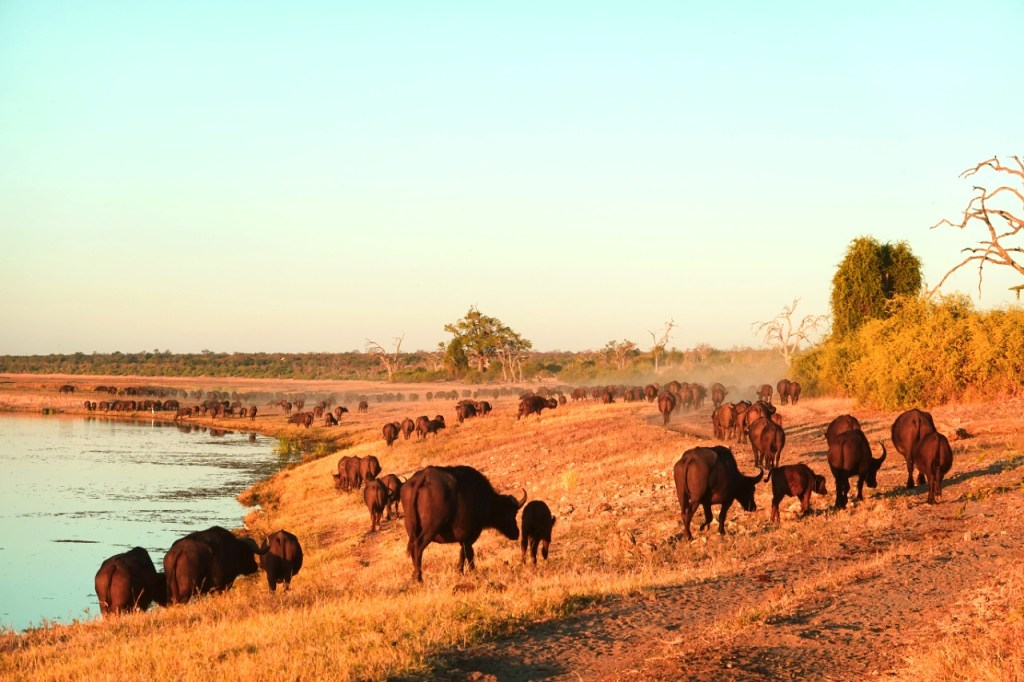 visiting chobe national park is one of the things to do in botswana