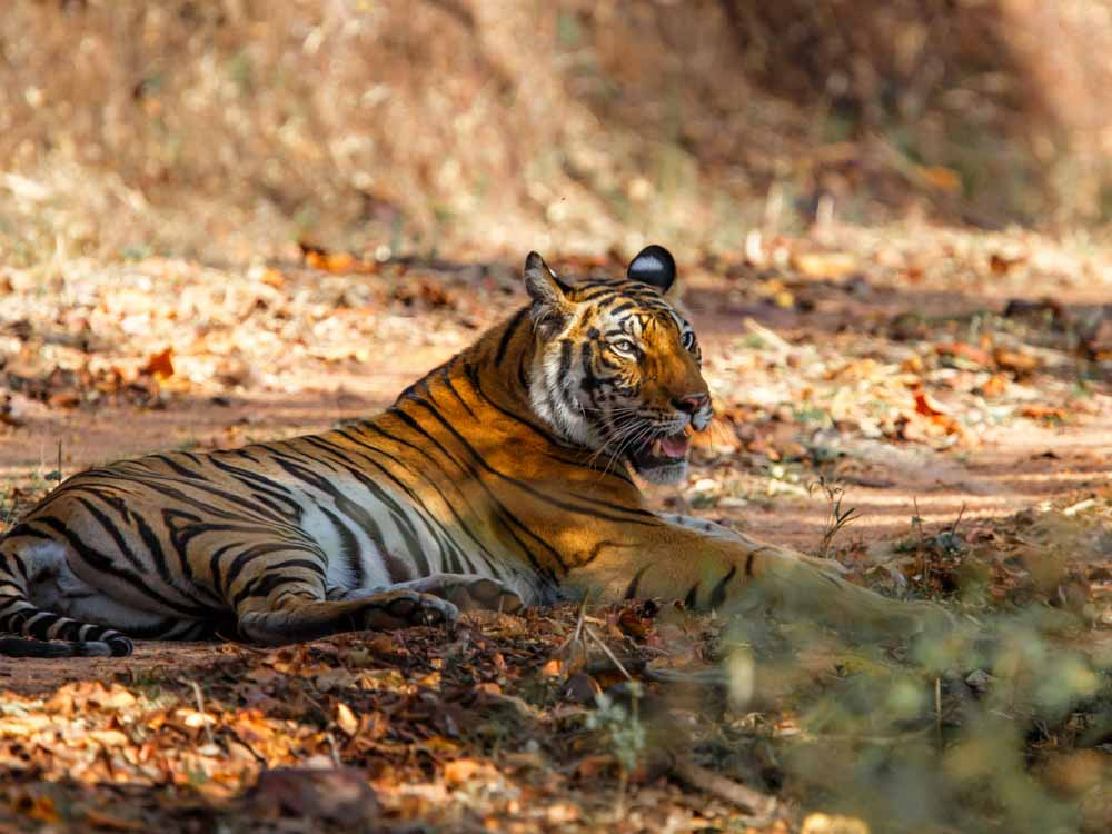 What is India famous for? It is known as the home of tigers