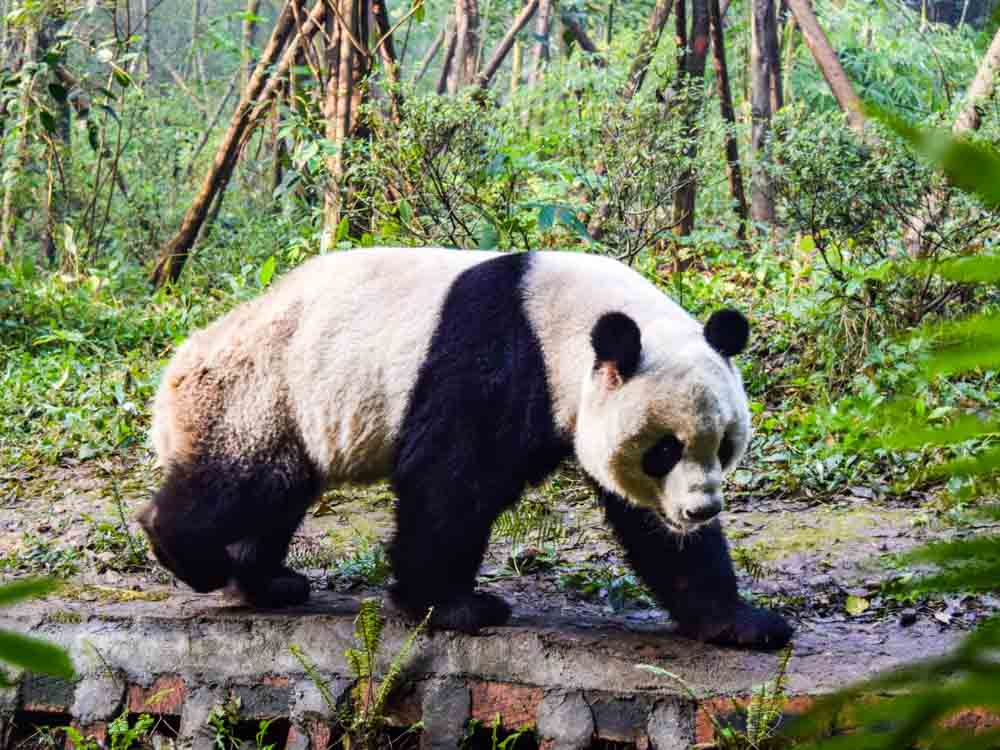 China is a  home of Giant Pandas