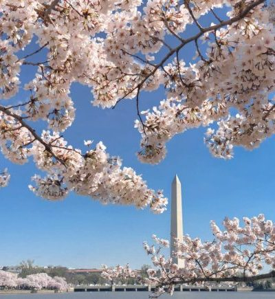 National Cherry Blossoms with Washington Monument
