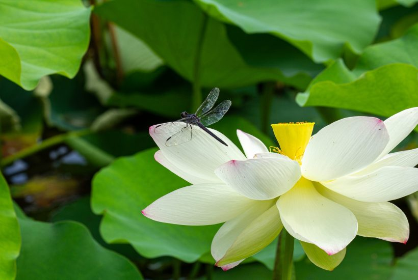 dragonfly on a lotus