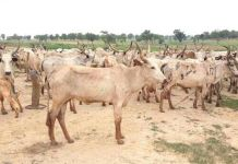 A cattle ranch in Kaduna. Photo: The AfricaPaper/Mohammad Ibrahim