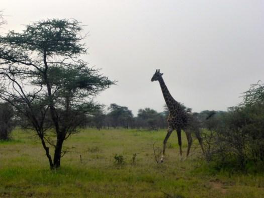 Giraffe Serengeti National Park, Tanzania