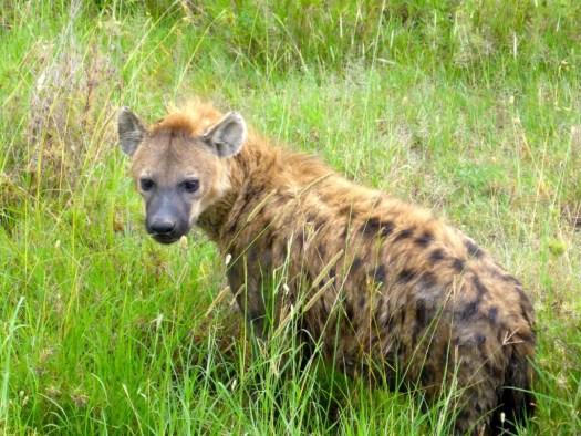Hyena Serengeti National Park, Tanzania