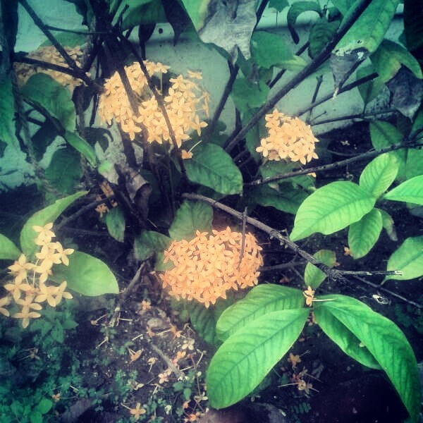 Yellow Ixora | Grow in clusters on the ends of stems and appear almost any time of year