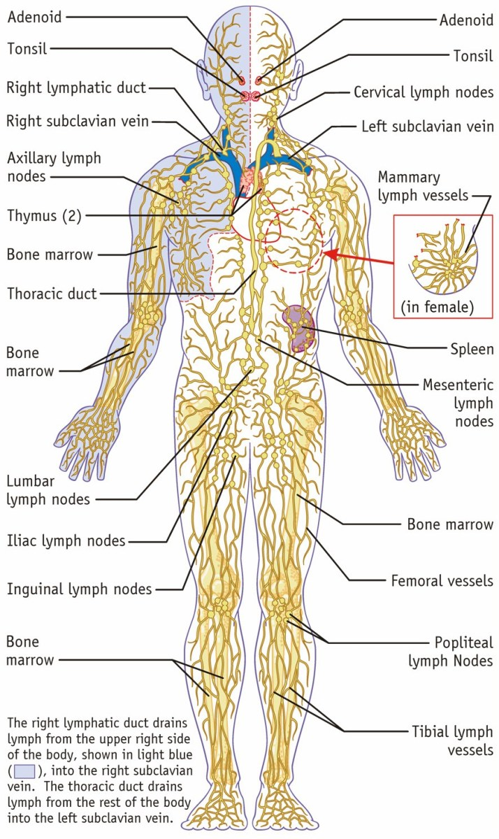 Anatomy and Physiology ~ Understanding the Lymphatic System « The Alchemist R&D