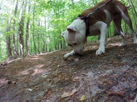 Athena investigating a toad we found on the trail
