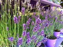 Lavender vendors in downtown Urbino