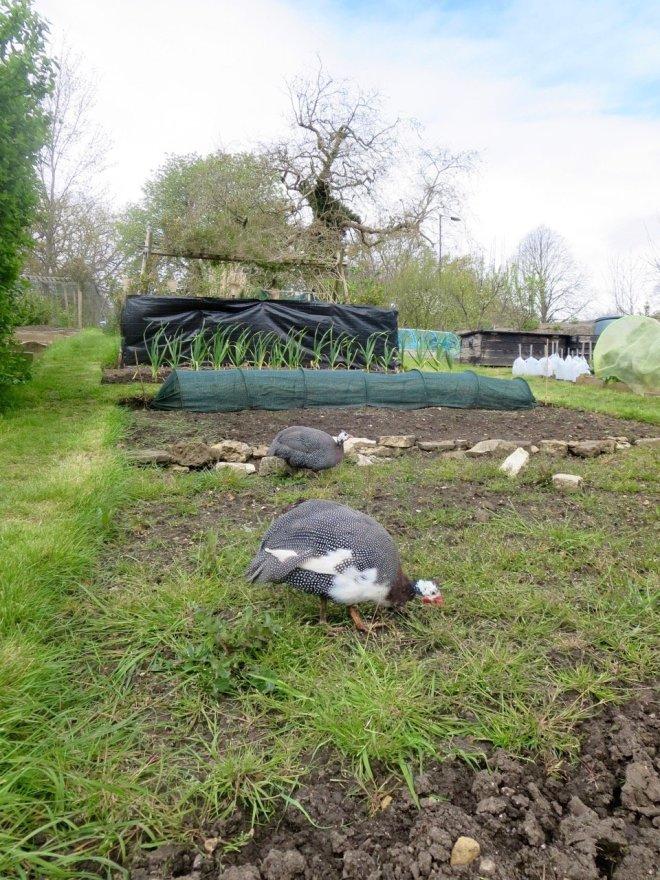 Guinea Fowl on The Allotment Kitchen Garden   TheAllotmentKitchen.com