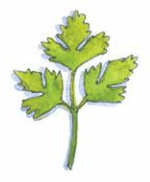 Coriander leaf illustration by Carrie Hill for the book The Allotment Kitchen by Susan Williamson