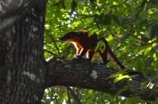 Tree fox