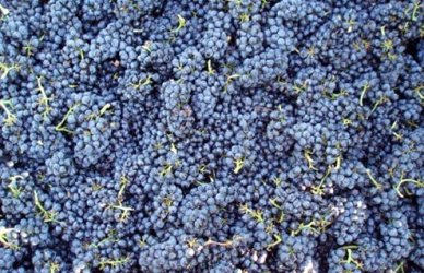 Pinot Noir is now grown all over the world.