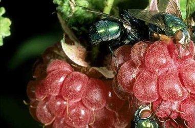 Raspberries in Wales.