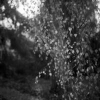 a birch