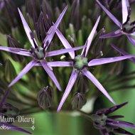 Ana Snapshot : Allium