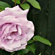 Ana Snapshot : Mauve Rose