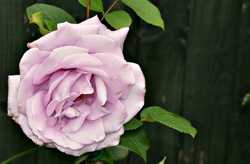 Rose, Summer Mauve colour