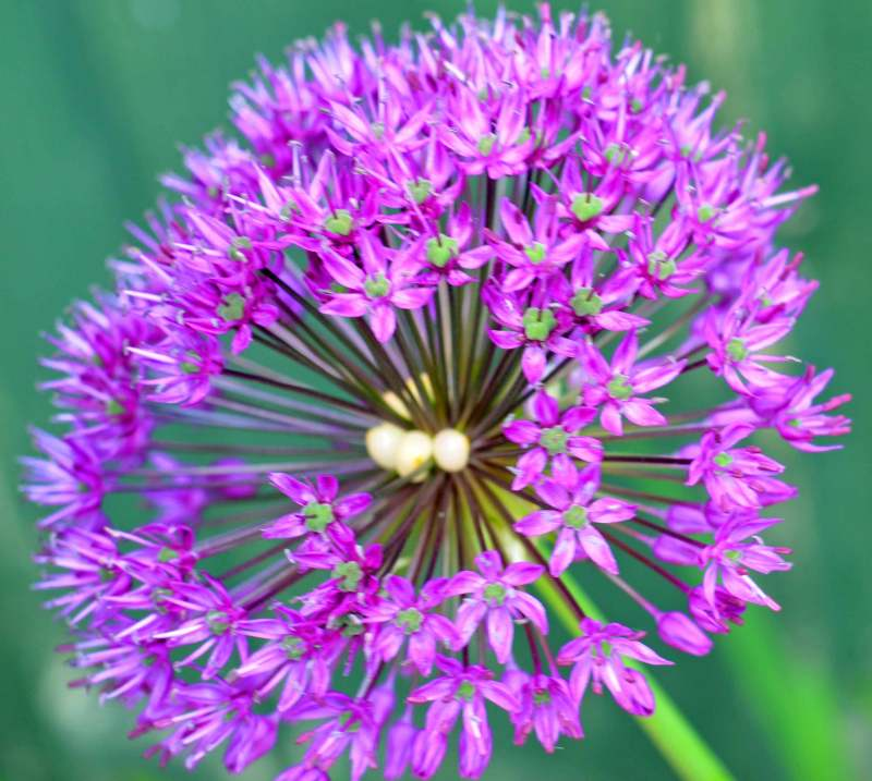 Allium Photoshop