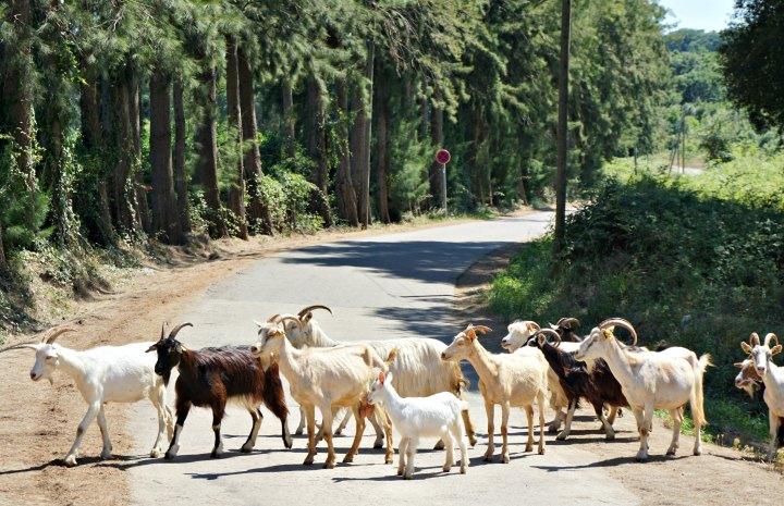 MW goats