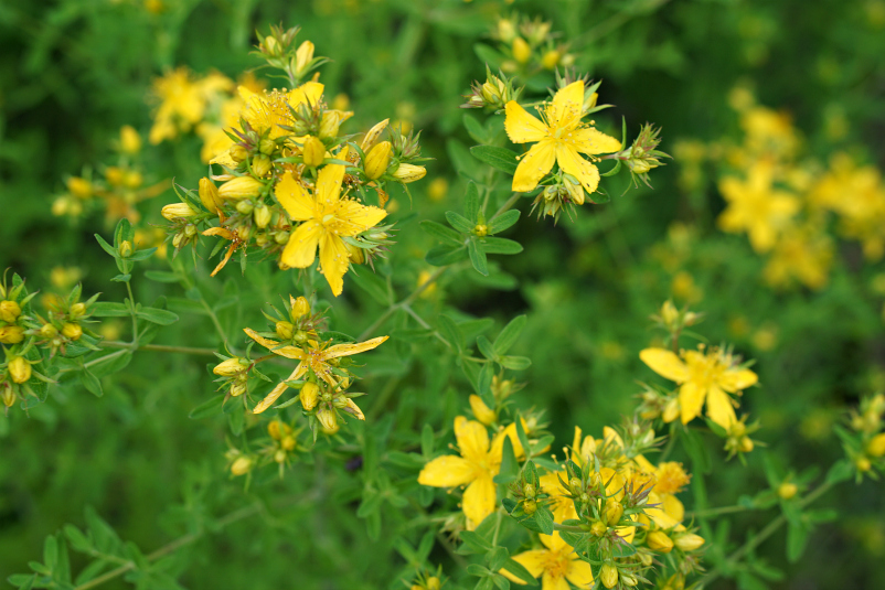 Weleda bright yellow flowers St Johns Wort