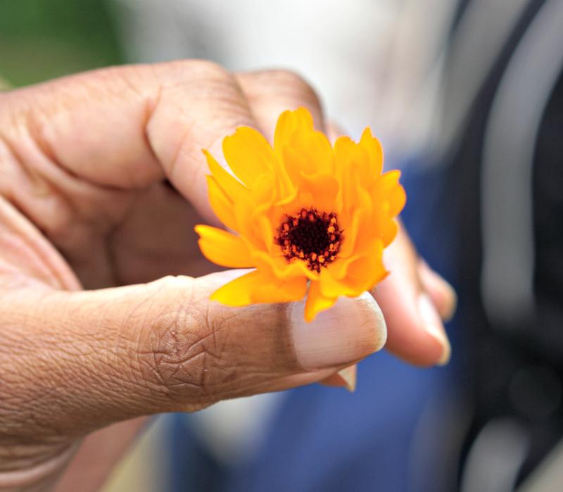 Weleda - holding a pot marigold flower